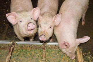 5 Feeding strategies to combat piglet diarrhea