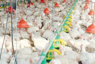 Happy 2020: Another 14% growth in poultry industry by 2030?